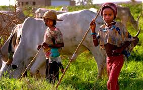 fulani cow meat